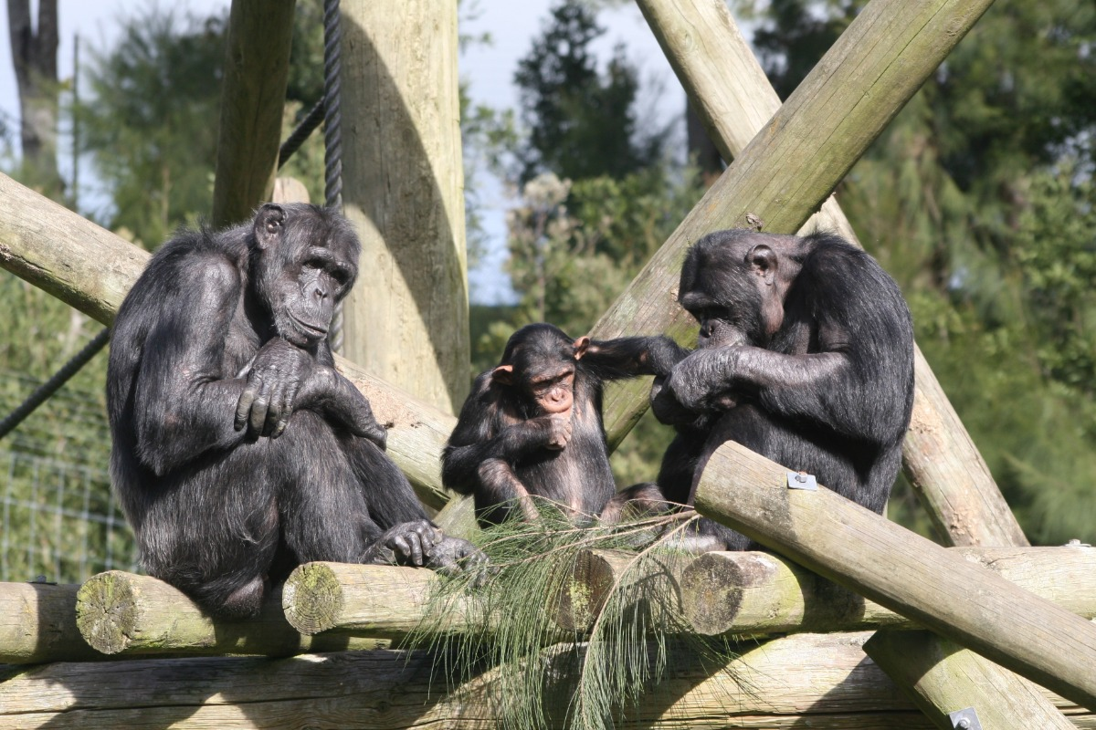 three chimpanzees in zoo