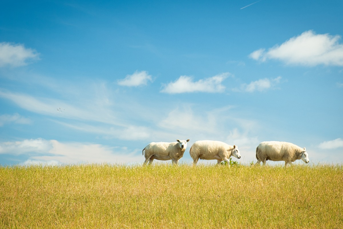 three sheep in a meadow with a blue sky