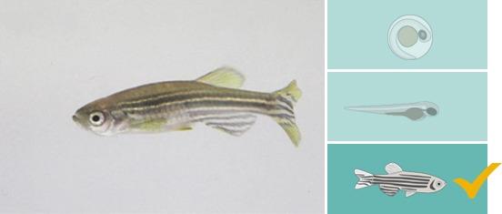 track 3d adult zebrafish illustration