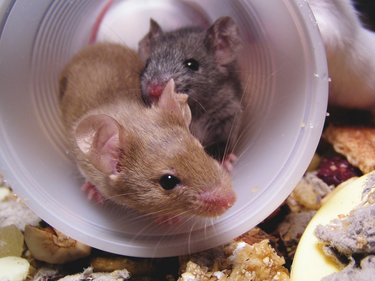 two brown mice in a tube