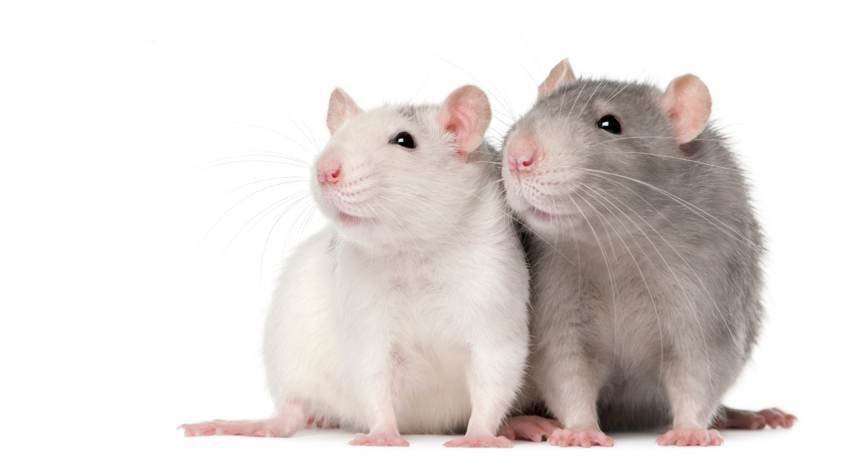 two rats white grey close together social