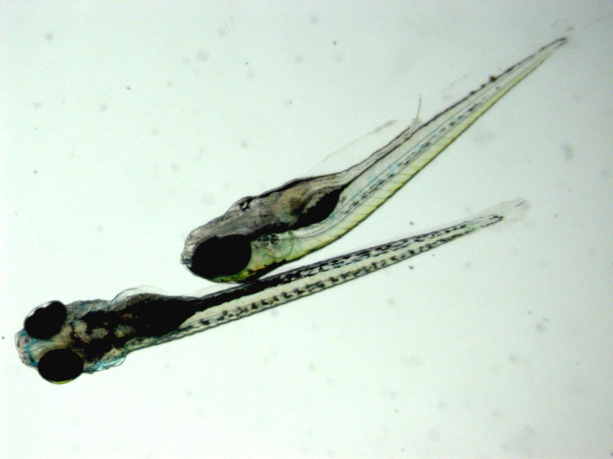 two zebrafish larvae