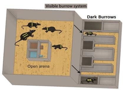 visible burrow system mice open area