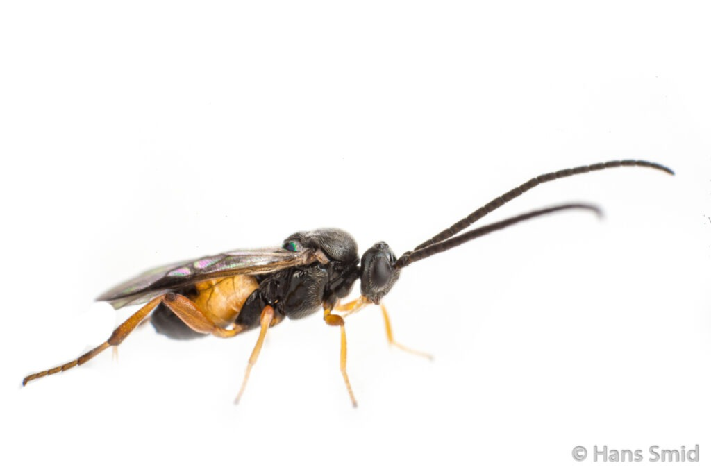 wasp-Cotesia-congregata-white-background
