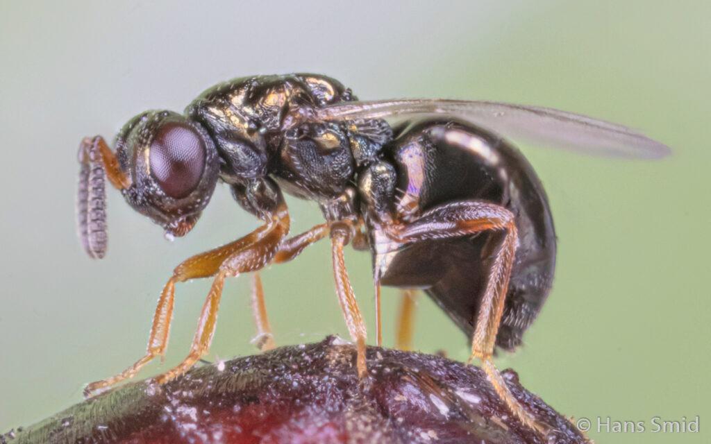 wasp-Nasonia-vitripennis