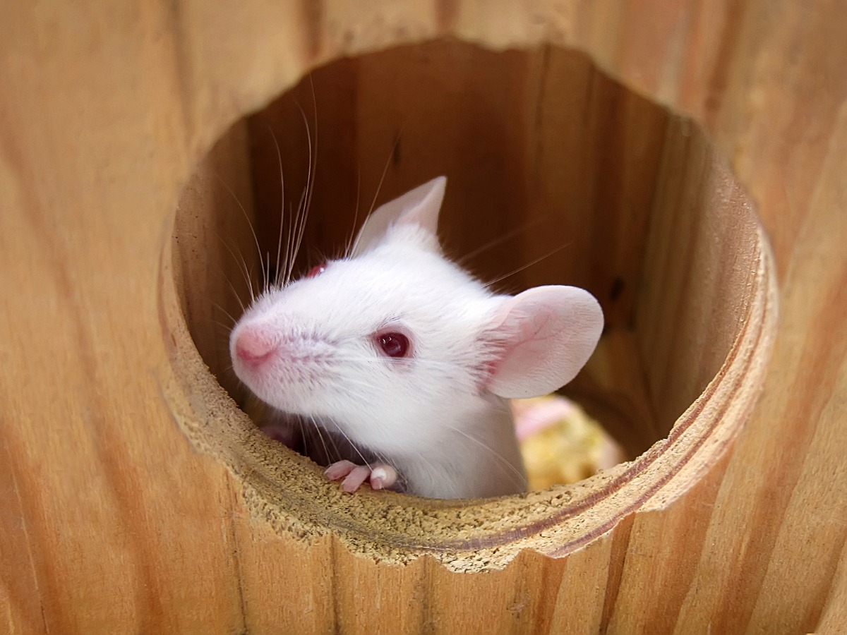 white mouse looking through a hole