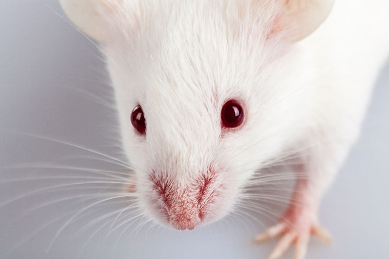 white rat close-up