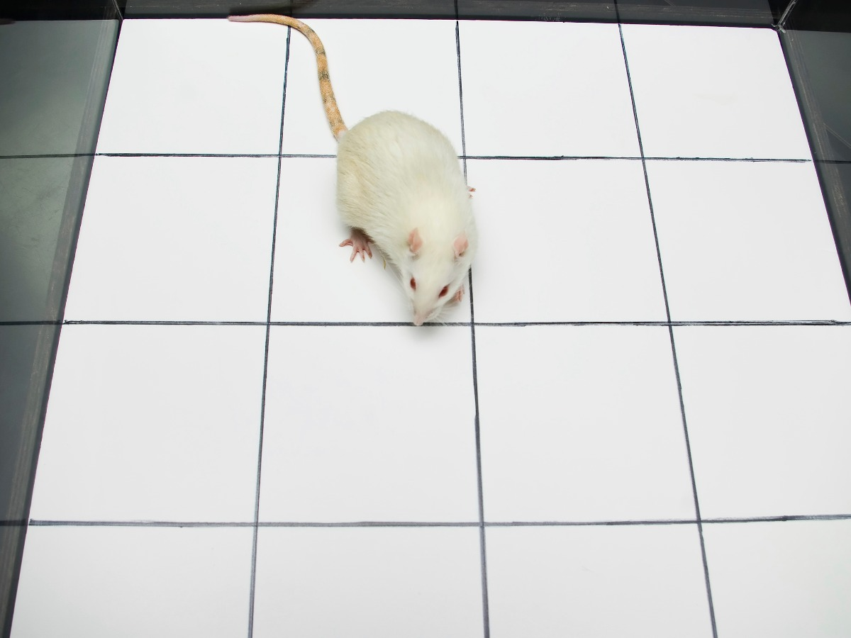 white rat in an open field with squares