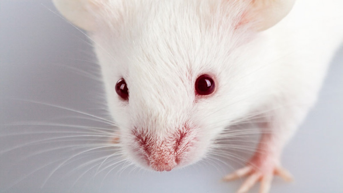 White rat red eyes gray background for movies