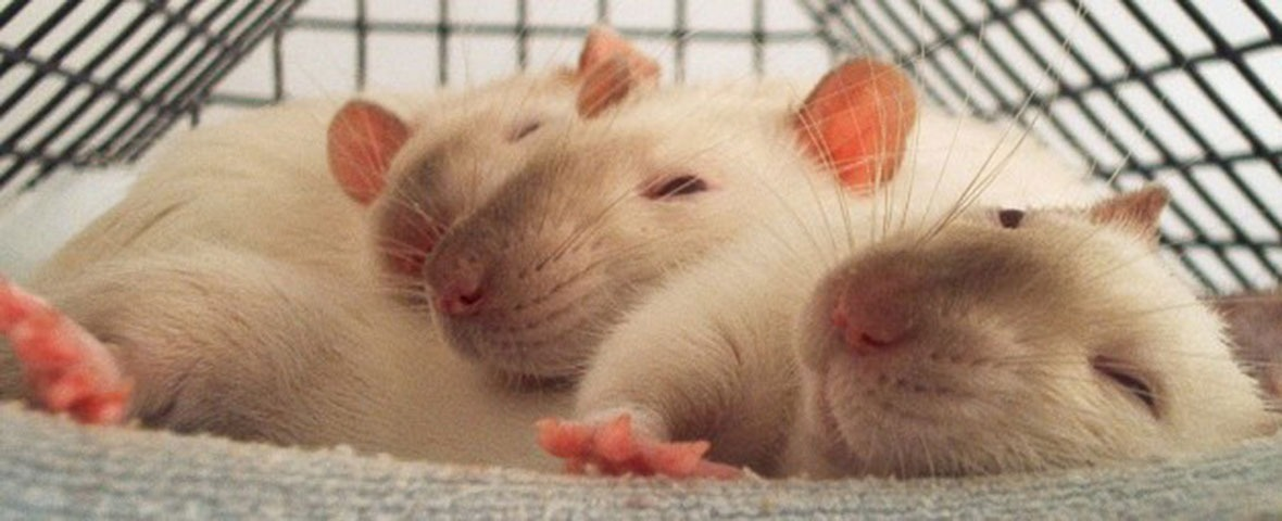White rat sleeping in cage