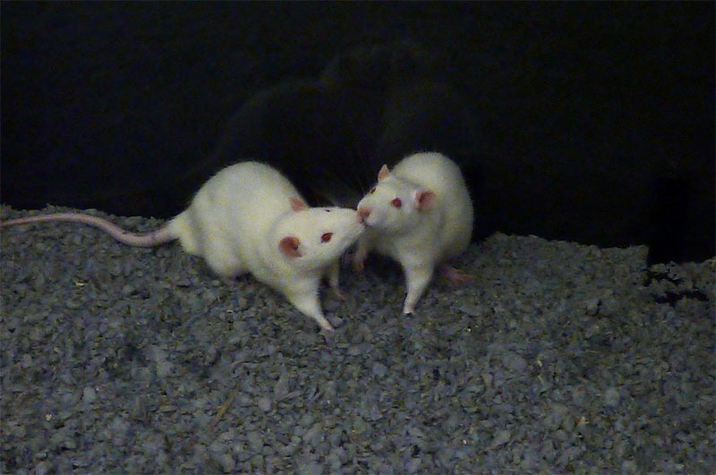 white Rats nose to nose black background