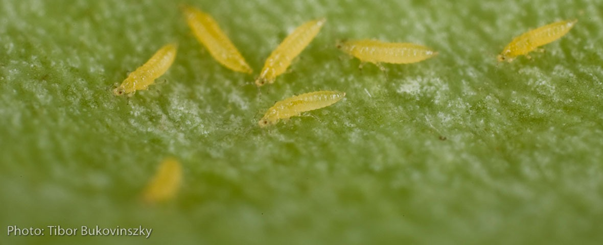 yellow thrips on green background