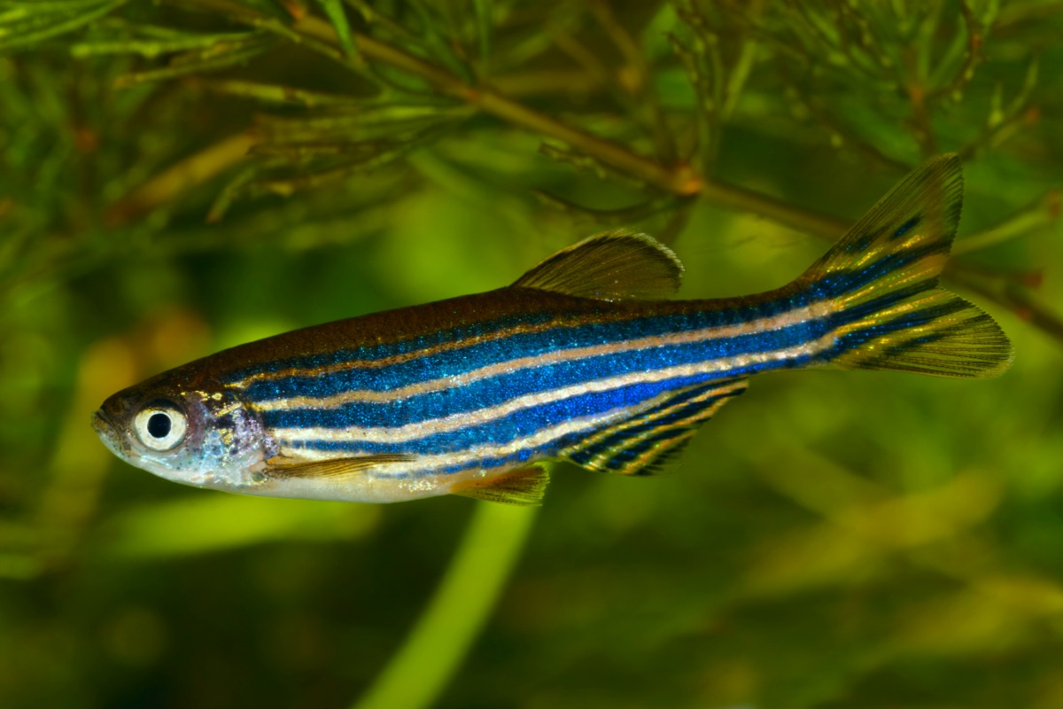 zebrafish blue in aquarium