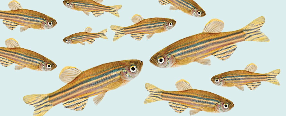 Zebrafish collage