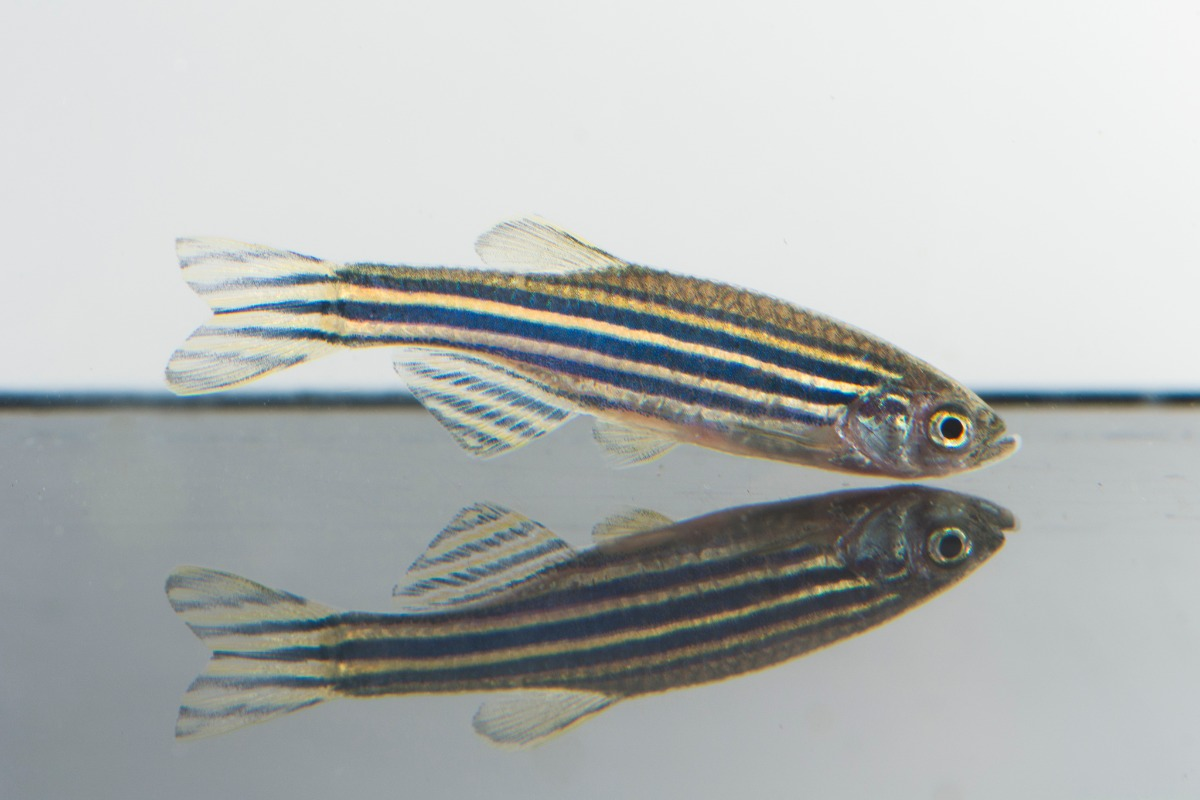 zebrafish mirroring in the floor flipped