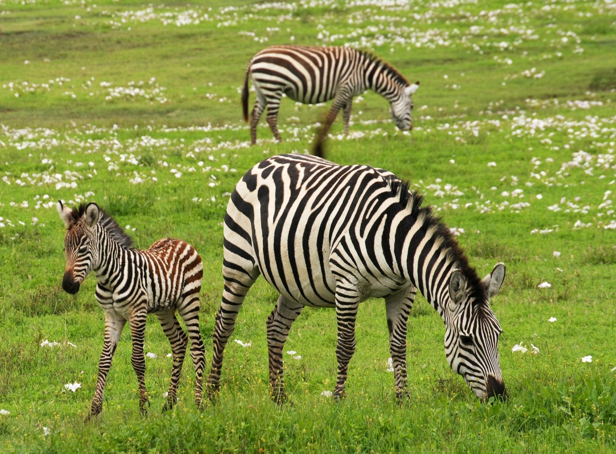 zebras in open veld