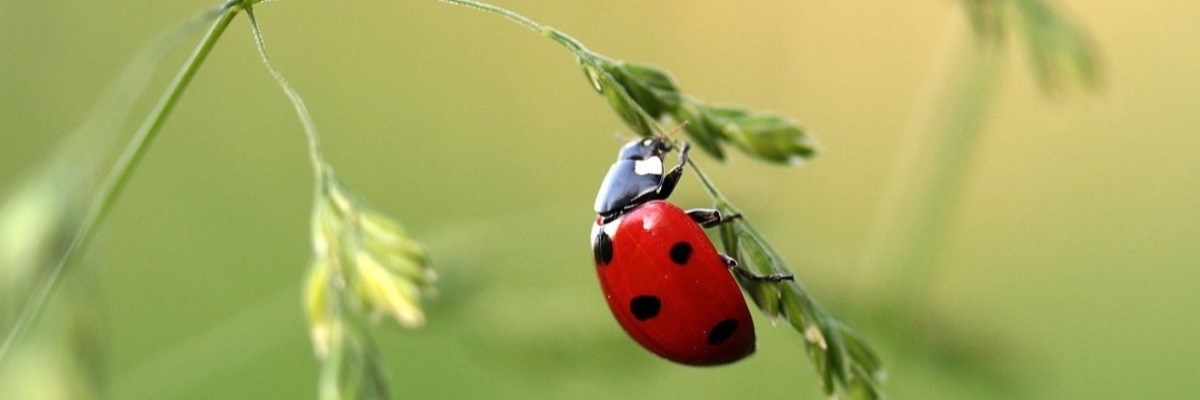 Ladybugs and lacewings do not spy on their prey's alarm pheromone