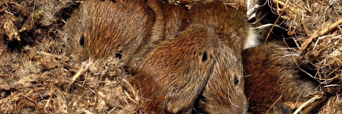 bank-voles-cross-generational-scent-behavior