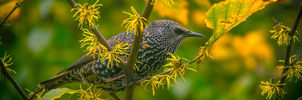 Measuring behavioral effects of laboratory rearing on starlings