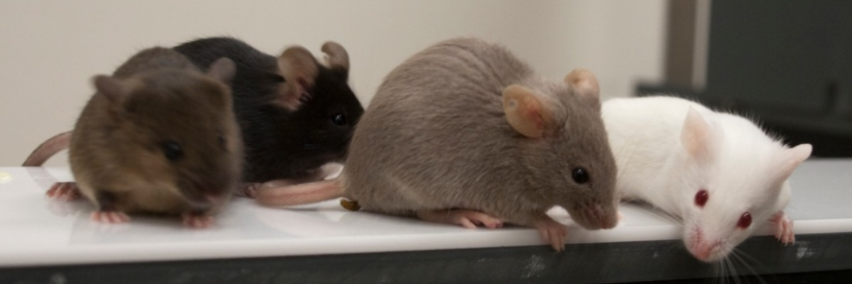 Drunken mice get aggressive on Alzheimer's drugs