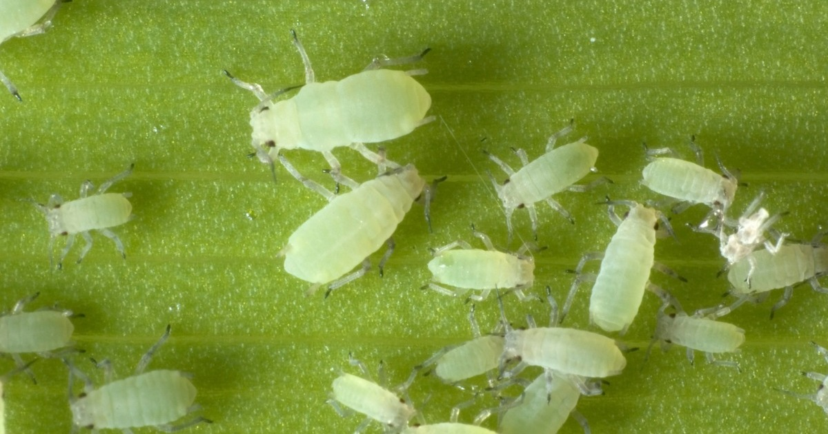 Plant Resistance To Aphids
