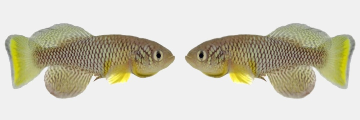 "Fish live longer and are more active after eating ""young poo"""