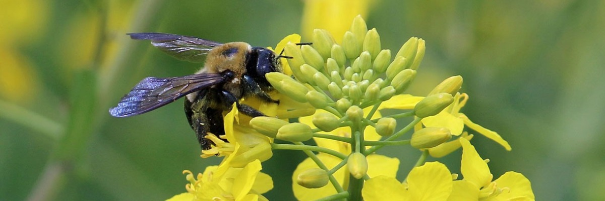 Flower preference in solitary bees