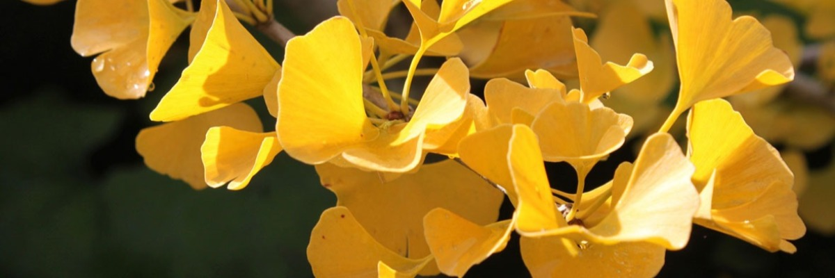 How Ginkgo biloba helps treat Alzheimer's