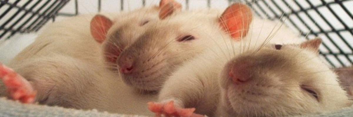 how-monitor-rat-social-behavior