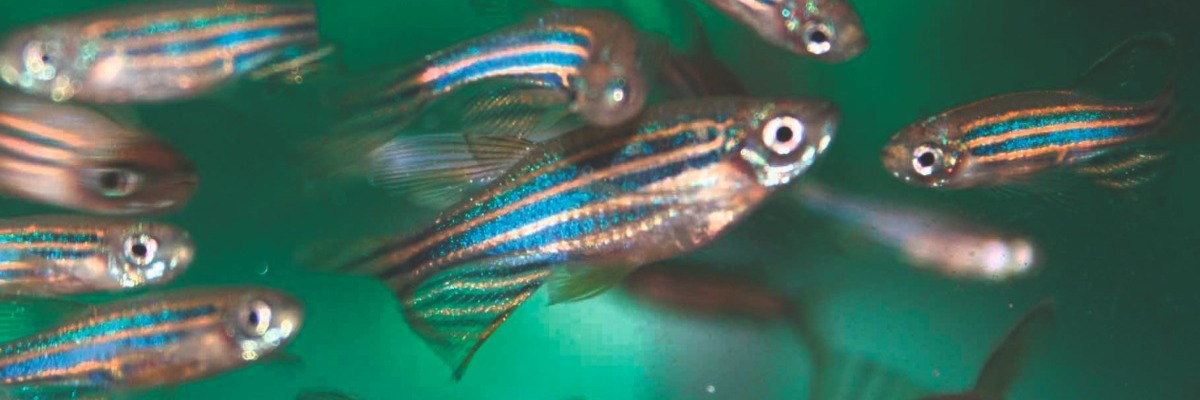 How to mark zebrafish without compromising their behavior