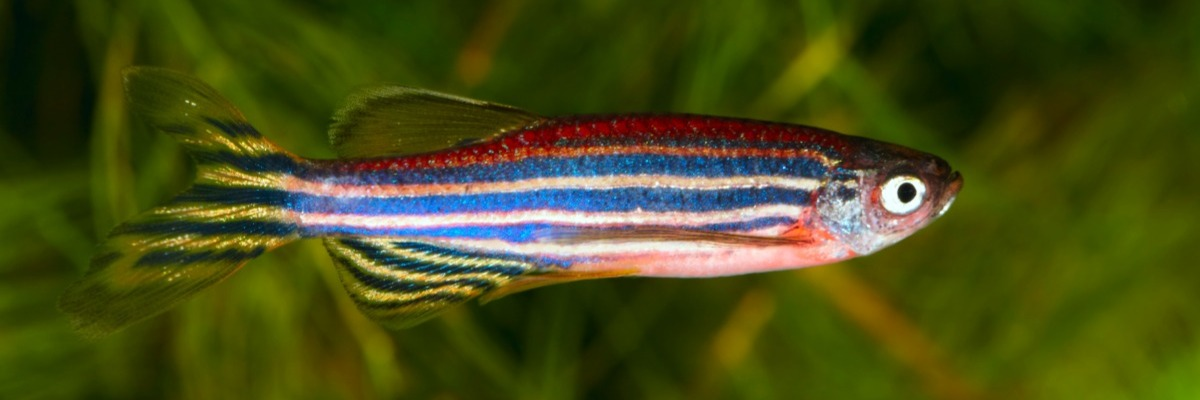 How young zebrafish cope with stress