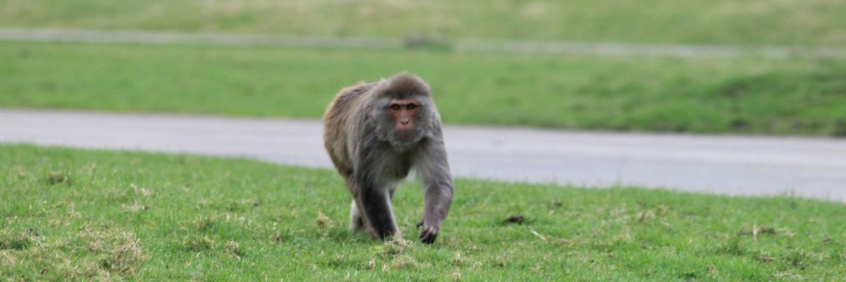 Secret sex and promiscuity - Mating behavior of Rhesus monkeys