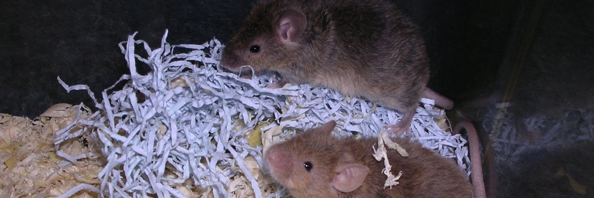 Spatial and odor memory impaired mice – new model for Alzheimer's