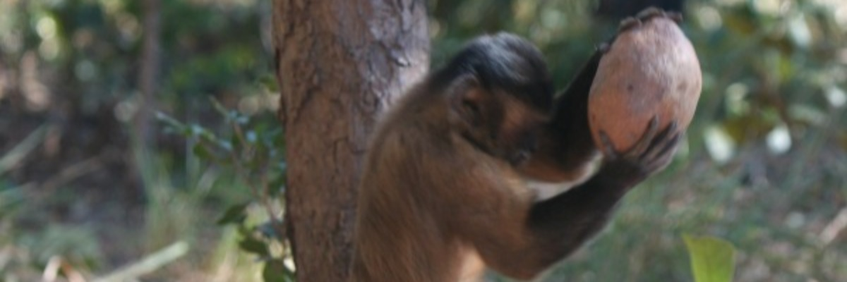 Observing monkey behavior – cracking the nut