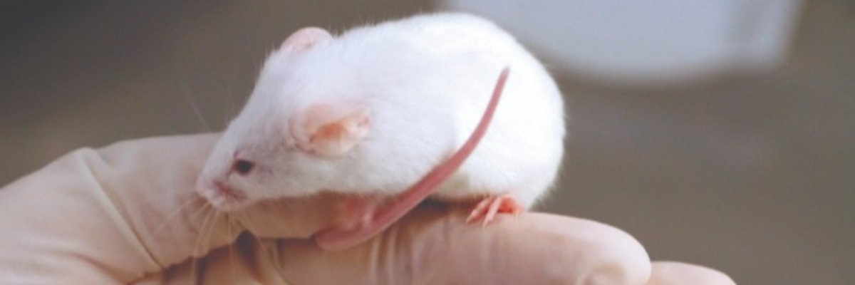 parasitic-infection-memory-mice