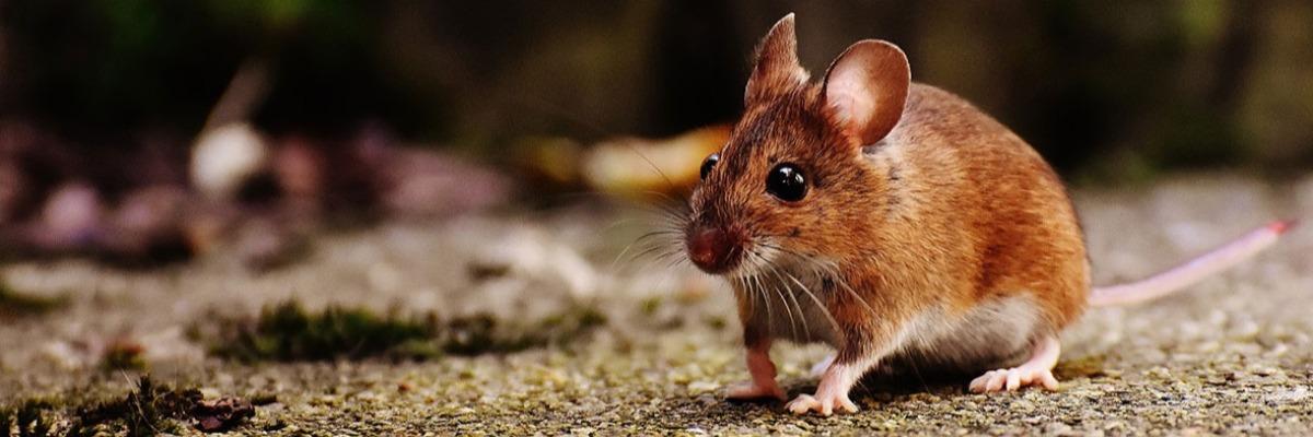 predator-odor-excites-mice