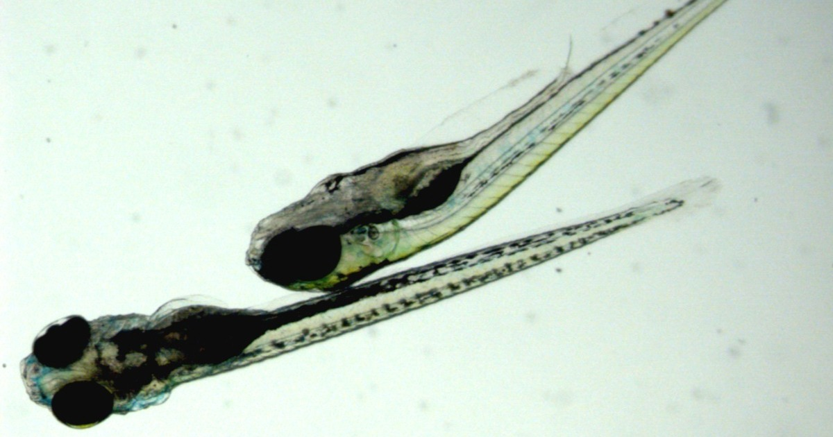 robust-results-intra-individual-locomotor-patterns-zebrafish-larvae