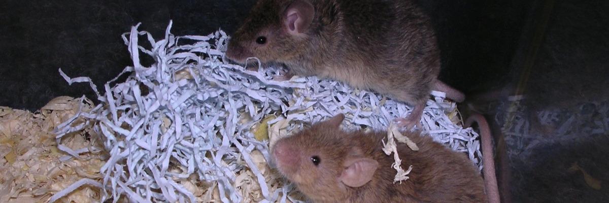 social-behavior-of-fragile-x-mice