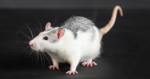 automatic-rat-behavior-recognition