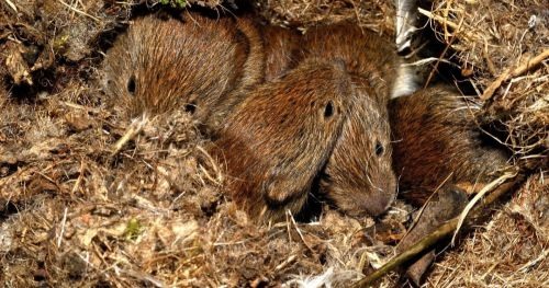 bank-voles-cross-generational-scent-behavior