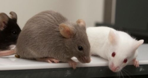 drunken-mice-get-aggressive-alzheimers-drugs