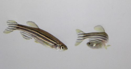 exploratory-behavior-larval-zebrafish