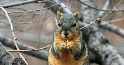 food-scarcity-and-caching-fox-squirrels