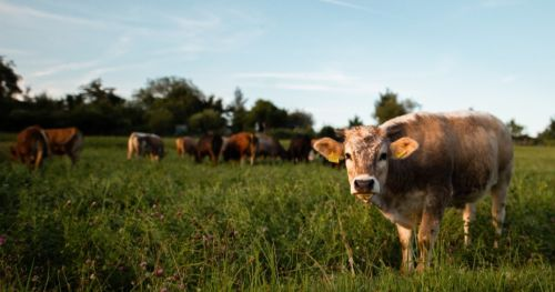 heat-stress-cows-health-welfare