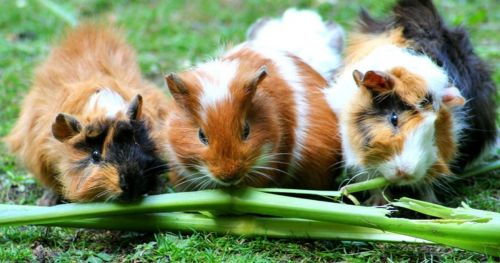 how-wild-cavies-domesticated-guinea-pigs-differ