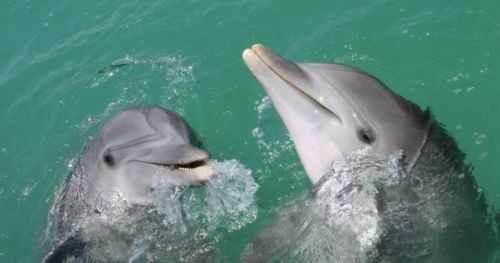 interspecific-aggression-dolphins