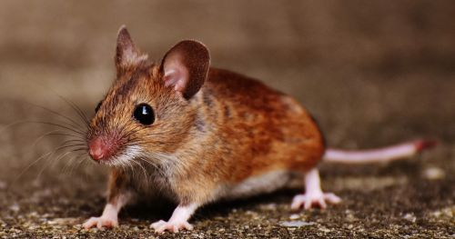 male-mice-behavioral-studies