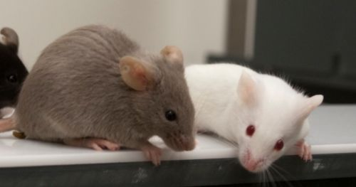 memory-loss-prevented-transgenic-mice