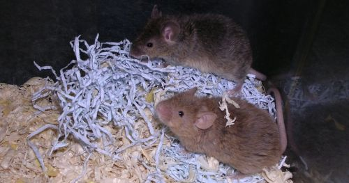 new-mice-model-sporadic-alzheimers