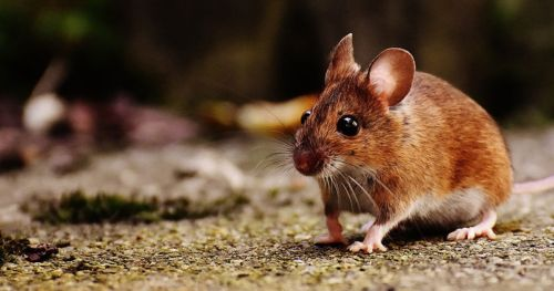 predator-odor-excites-mice
